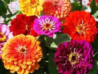 Davids Garden Seeds Flower Zinnia California Giants Heat Tolerant Dgs0987 multi Colors 500 Heirloom Seeds