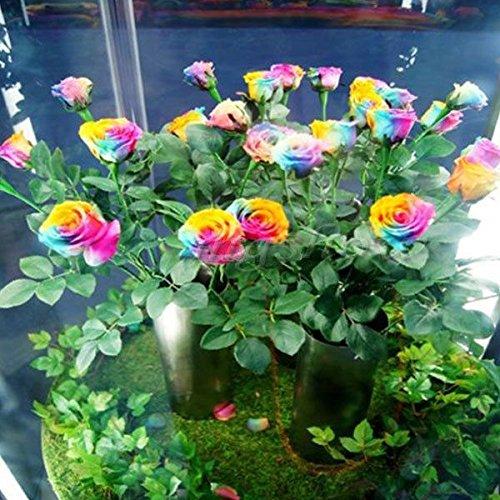 Rose Flower Seeds 100 Pieces Rainbow