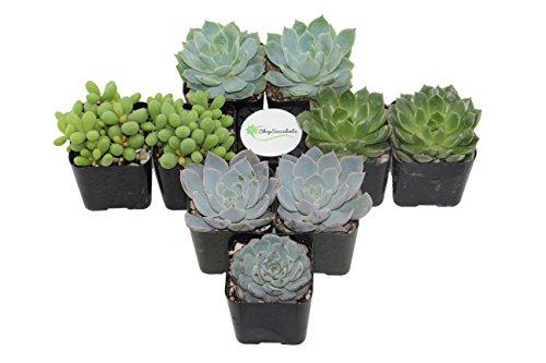 Shop Succulents BlueGreen Succulent Collection of 9