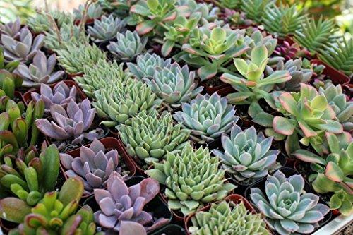 Shop Succulents Rosette Succulent collection Of 20