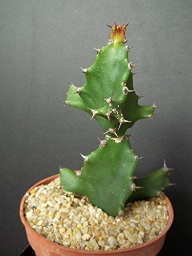 EUPHORBIA TORTILIS African Milk Tree rare spilralis plant exotic succulent 4