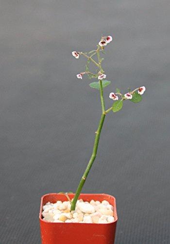 Euphorbia Guiengola Exotic Rare Succulent Caudex Bonsai Hanging Plant 2&quot Pot
