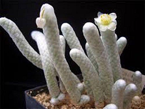 ~ Anacampseros Papyracea Avonia ~ Exotic Succulent ~ Rare Cactus ~10 Fresh Seeds