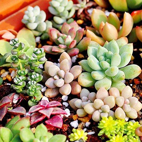 Higarden Mix seeds Lithops succulent plant seeds Bonsai Pseudotruncatella for home garden 100 seeds  bag 49 100 pc  lot