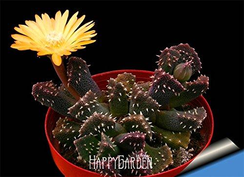 New Arrival10 pcspack Ball cactus seeds rare succulent plant seeds Bonsai Celestial Flower pot planters FloresAXBAND