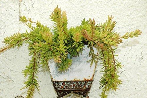 Rhipsalis Mesembryanthemoides epiphyllum cacti succulent plant seed 20 SEEDS