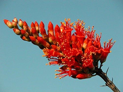 Special Fouquieria Splendans - Ocotillo - Rare Succulent Plant Seeds 10
