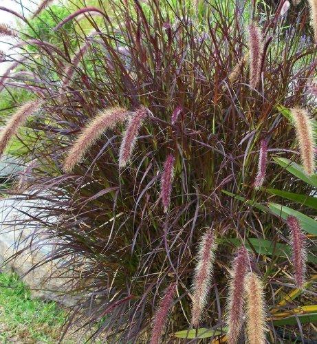 GR~PURPLE FOUNTAIN GRASS~Seed~~~~~~Lovely Ornamental