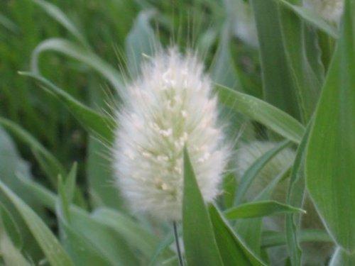 100 Bunny Tails Grass hares Tail Ornamental Lagurus Ovatus Seeds