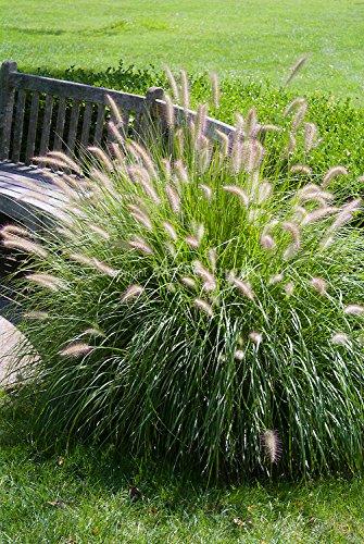 Fountain Grass - 100 Seeds Pennisetum Alopecuroides Hameln Dwarf Fountain Grass Ornamental Grass