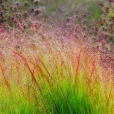 HG Panicum Virgatum Dacotah Switch Ornamental Grass - 15 Seeds
