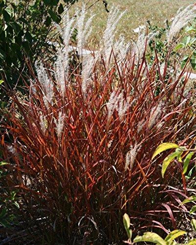 Ornamental Grass Seeds9733 Flame Grass9733 Miscanthuslsquopurpurascens&rsquo9733 20 Seeds