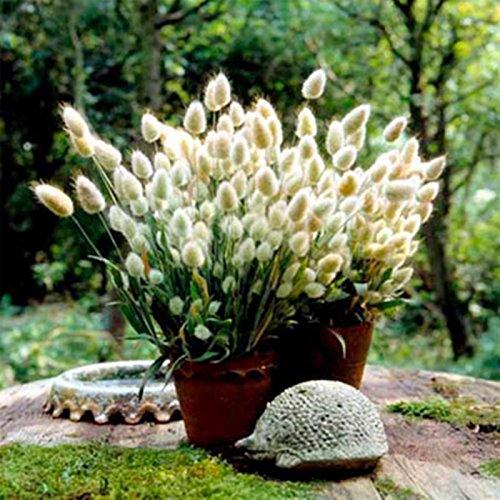 Seeds Bunnys Tails - Hares Tail Lagurus ovatus Ornamental Grass