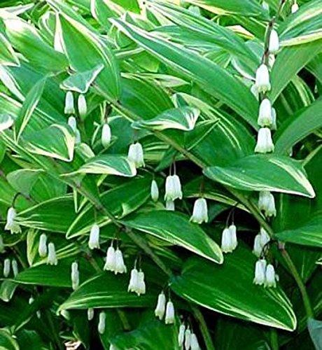 2 Polygonatum Odoratum Variegatumperennial Flower Shade Loving Plant