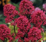 40 Centranthus Red Jupiters Beard Flower Seeds  Sun Or Shade Loving Perennial drought And Heat Tolerant