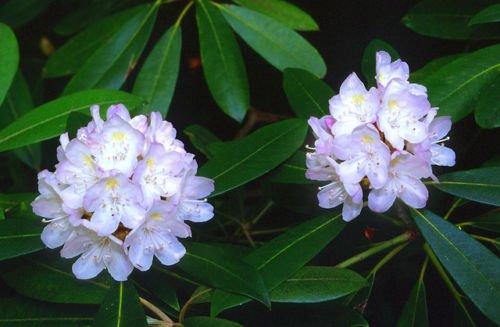 NEW 25 PURPLE RHODODENDRUN SEEDS  FLOWERS SHRUBS TREES  SHADE LOVING PERENNIAL
