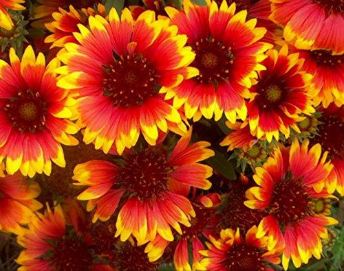2 Arizona Sun - Perennial Blanket Flower Plants - Quart Pot
