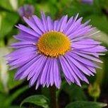 25 Aster Alpinus Goliath Flower Seeds  Shade or Sun  Perennial