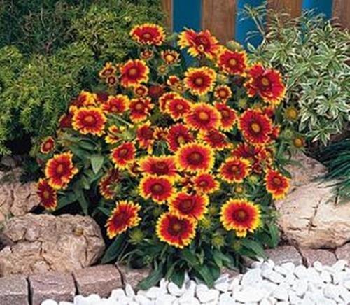 Gaillardia Blanket Flower Aristata Arizona Sun Perennial Seeds