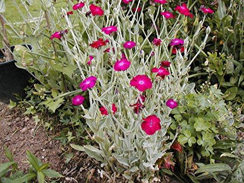 Rose Campion Sun Perennial Pink Flower 450 Seeds Groco
