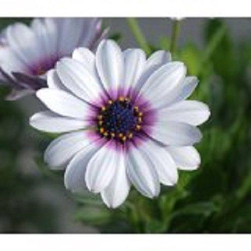 40 White African Daisy Flower Seeds  Perennial