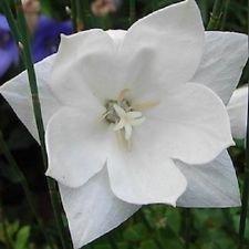 40 White Platycodon Double Balloon Flower Seeds perennial