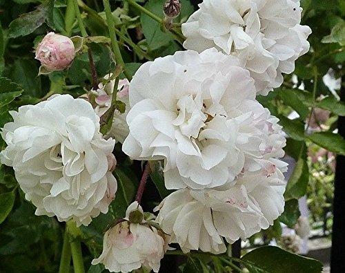 Climbing Rose Seeds Climber Pure White Perennials Flower Bulk 300 Seeds