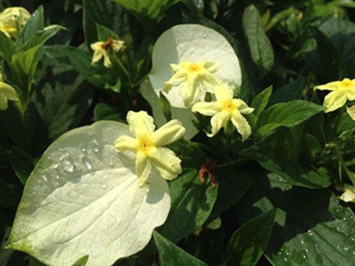 Emeralds Tm Unusual Yellow Flowering Perennial Shrub Plant White Winged Mussaenda Glabra