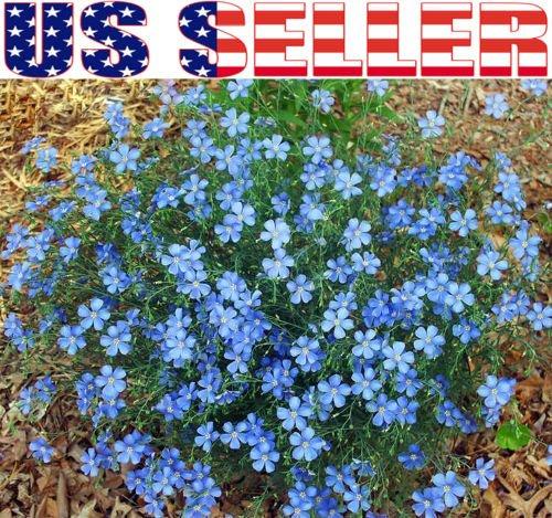 250 Blue Flax Flower Seeds Prairie Fragrant Perennial Linum perrene Beautiful