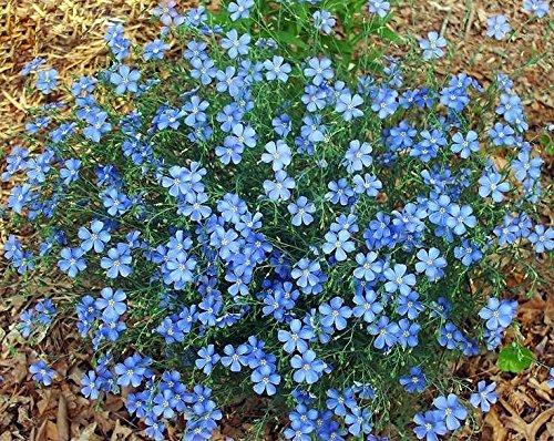 250 Blue Flax Flower Seeds Prairie Fragrant Perennial Linum perrene Beautiful Decorative From USA