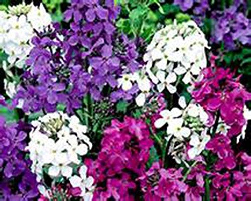 DAMES ROCKET MIX-Hesperis Matronalis-3 LIVE Perennial Flower PLANTS-Hardy Perennial Fragrant Flower