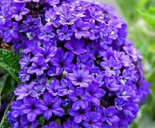 NEW 50 HELIOTROPE MARINE BLUE FLOWER SEEDS  FRAGRANT PERENNIAL