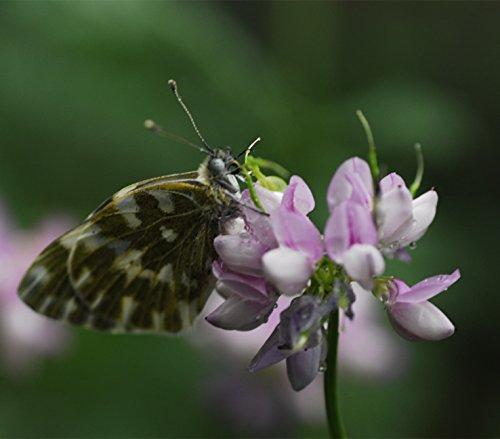 FutabaCrownvetch Coronilla varia Papilionaceae Perennial herb 200 Seeds