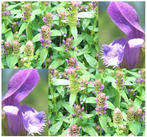 HEAL ALL Perennial Herb Seed - Flower Seeds - Prunella vulgaris - EDIBLE MEDICINAL 001200 Seeds - 1200 Seeds - Pkt Size