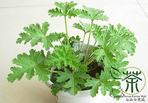 Perennial Herbs Pelargonium Graveolens Seeds 40pcs Rose Geranium Qu Weng Cao Seeds Very Popular Rose-scented Pelargonium Seeds