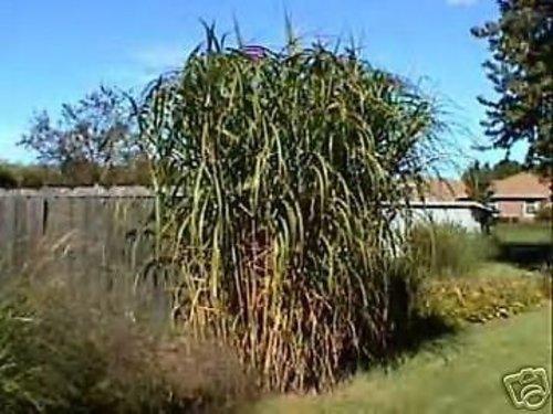 Miscanthus floridus GIANT MAIDEN GRASS Seeds