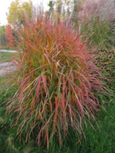 Miscanthus sinensis Purpurascens MAIDEN GRASS Seeds