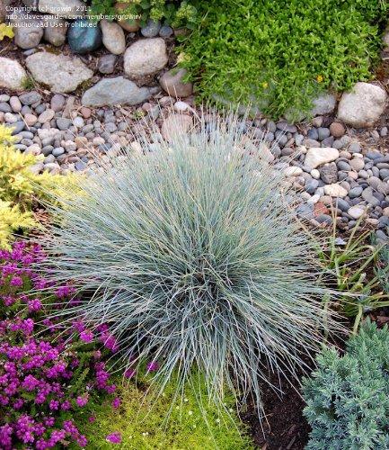 GR~Turquoise~BLUE FESCUE GRASS~Seed~~~Rock Garden Joy