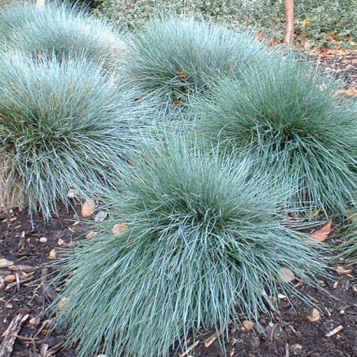 Tropical Oasis Festuca Glauca Blue Fescue Ornamental Grass - 90 Seeds
