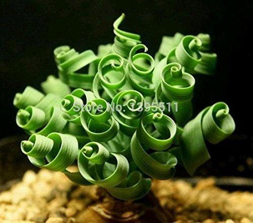 200bag Sin mankind plants broad leaf spring grass seeds succulents new plants