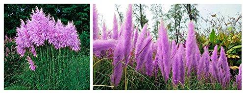 Bigfuntoys Purple Pampas Grass Seeds Ornamental Plant Flowers Cortaderia Selloana Grass Seeds 1 Pack - 100 Seeds