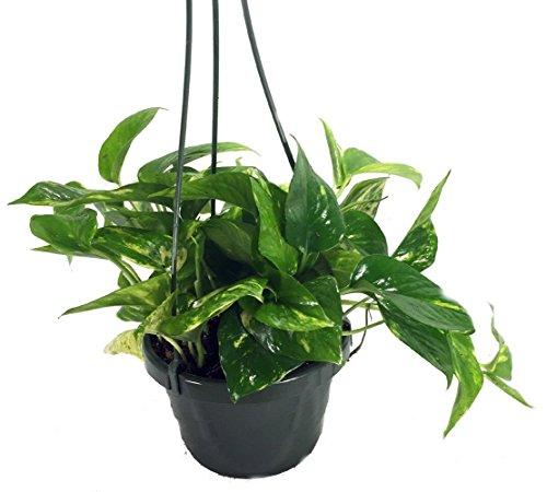 Golden Devils Ivy - Pothos - Epipremnum - 6 Hanging Pot - Clean Air Machine