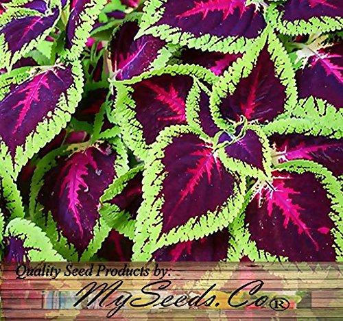 1000 x Coleus blumei Rainbow Mix FLOWER SEEDS - BRIGHT LIVELY COLORS - spirit of victorian garden - By MySeedsCo