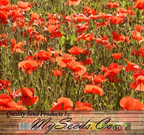 Big Pack - Red Poppy 100000 Heavy Bloomer Flower Seeds - Papaver Rhoeas - Zones 3-9 By Myseedsco