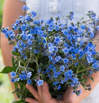 Davids Garden Seeds Flower Cynoglossum Chinese Forget Me Not D1931 blue 1000 Heirloom Seeds