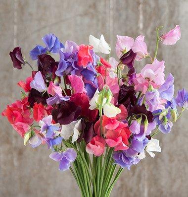 Davids Garden Seeds Flower Sweet Pea Elegance Formula Mix D1920 multi Colored 50 Open Pollinated Seeds