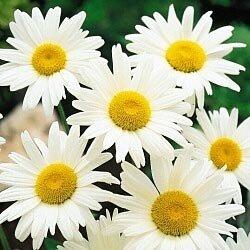 Shasta Daisy Alaska Nice Garden Flower Bulk 25000 Seeds