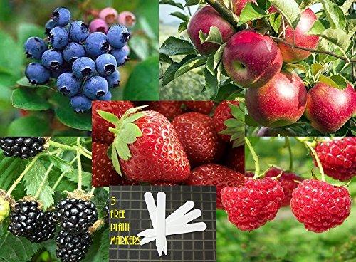 Fruit Combo Pack Raspberry Blackberry Blueberry Strawberry Apple Organic 525 Seeds 647923989472 Self Fertile  5 Free Plant Marker - Stocking Stuffers