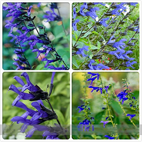 B&B D Ambizu Black and Blue Salvia Guaranitica Sage Perennial  Annual Flower Seeds Professional Pack 30 Seeds