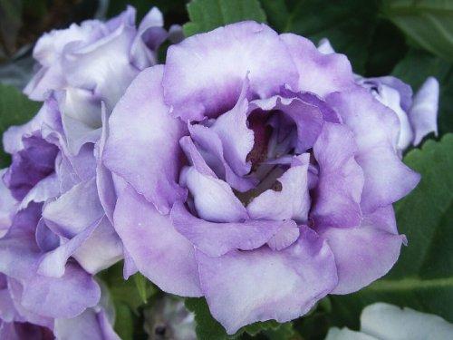 20 Lavender Echo Lisianthus Annual Flower Seeds  Long Lasting